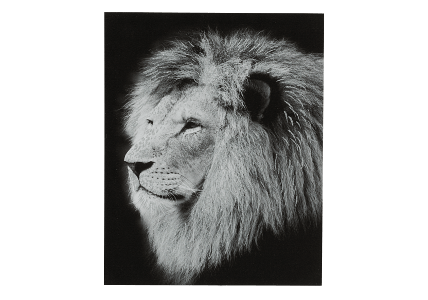 "16X20"" Black and White Lion Painting product photo Front View L"